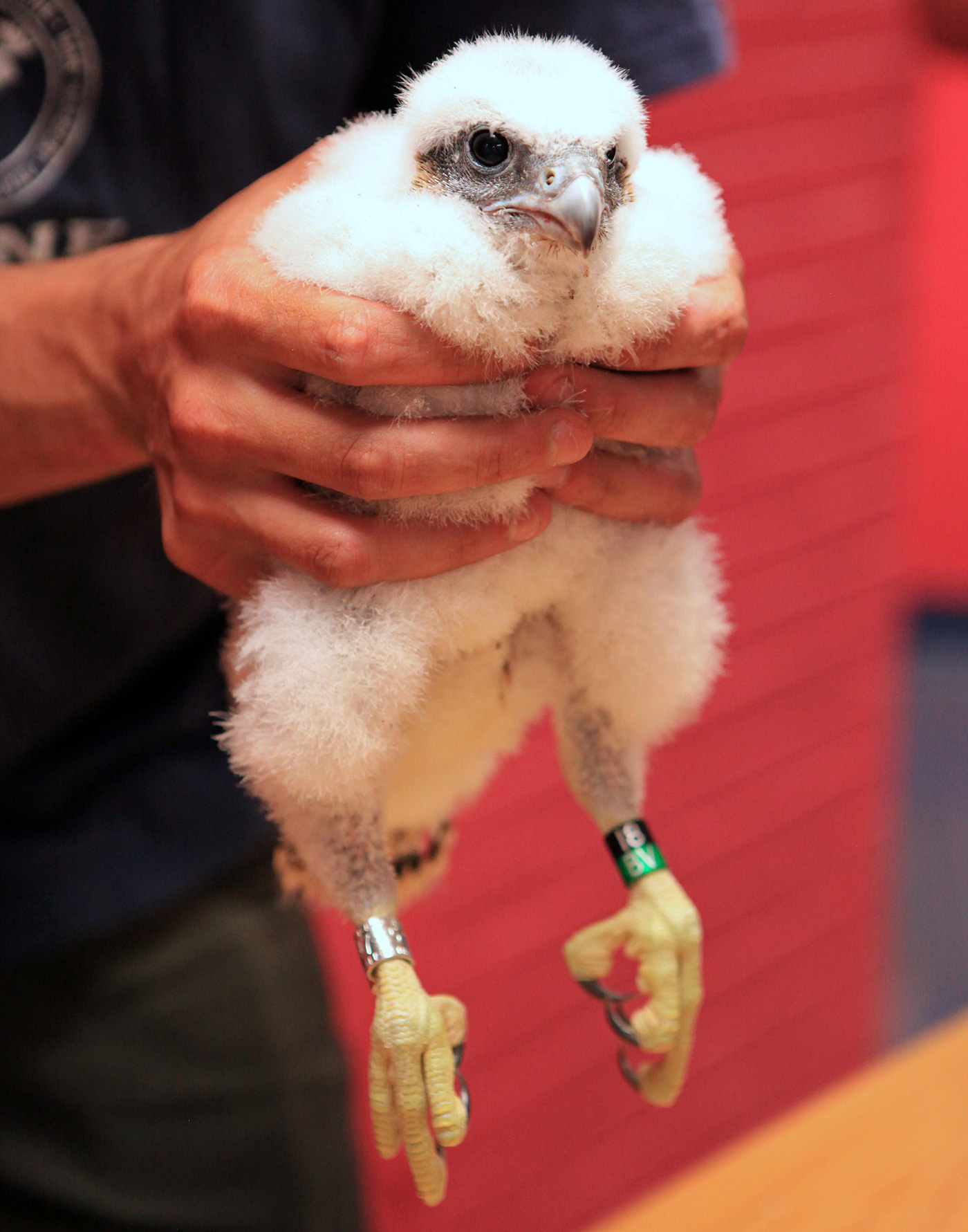A falcon chick born in the nest box atop UMass Lowell's Fox Hall is held by Massachusetts wildlife officials after getting a leg band.