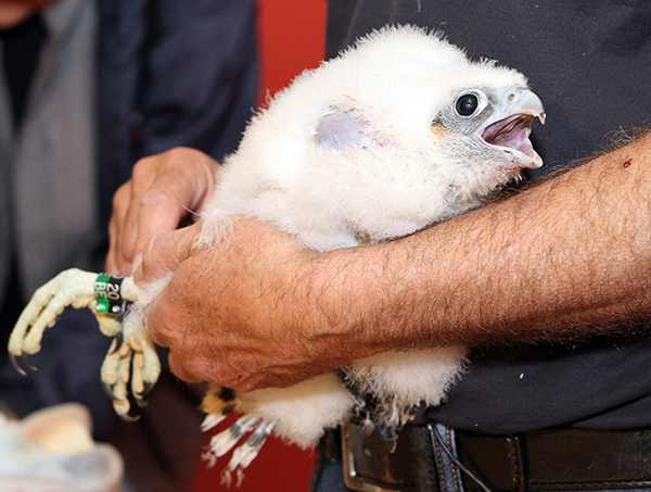 Massachusetts wildlife officials will visit the peregrine falcons that live atop UMass Lowell's Fox Hall on Friday, June 8 to assess the health of a new chick hatched there and fit it with an ID band so they can track the bird after it leaves the nest.