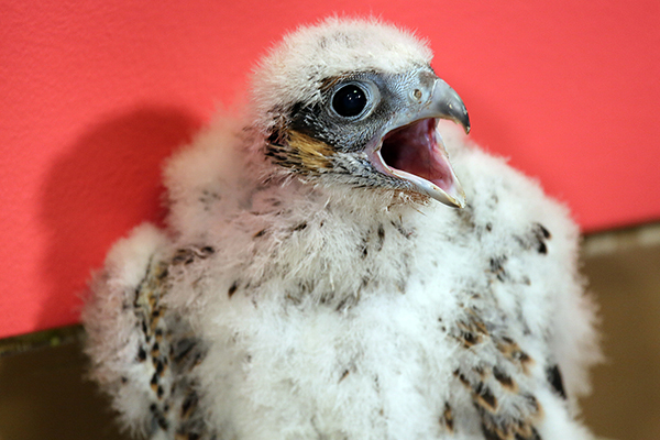 Officials from the state's Division of Fisheries and Wildlife will visit a new brood of peregrine falcon chicks that have hatched in a nest box atop UMass Lowell's Fox Hall on Wednesday, June 8.