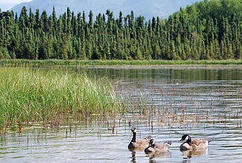 Researchers will conduct field studies in central Alaska to find the correlation between the plant makeup of wetlands and the production of methylmercury by bacteria.