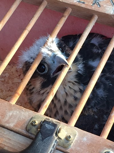 Baby-Falcon-in-cage-June10-2015