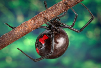 "This close-up view of a black widow spider shows the arachnid's characteristic black shiny body and the red ""hourglass"" marking on its abdomen."