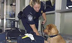 A female officer letting an officer dog stiff out for bombs.
