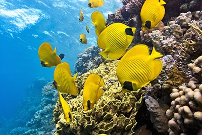 Butterflyfish on a coral reef.