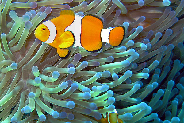 Sea anemones have a symbiotic relationship with the common clownfish – the anemones' venom-filled tentacles give the fish protection from predators, while the anemone snacks on food scraps from the clownfish's meals.