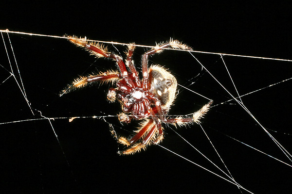 "Darwin's bark spider, known by its scientific name ""Caerostris darwini,"" is endemic to the rainforests of Madagascar."