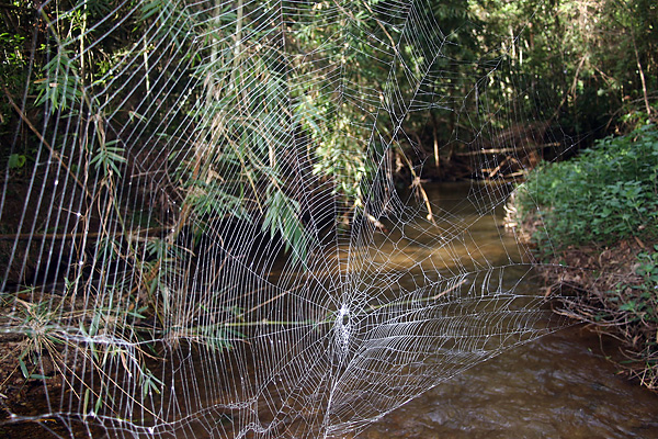 Darwin's bark spider web