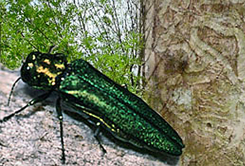 A close-up view of the invasive emerald ash borer. The adult beetle measures about a half inch long.