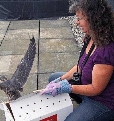 "One of the male juvenile falcons, nicknamed ""K2,"" has been successfully reunited with his family at Fox Hall on July 14, 2015."
