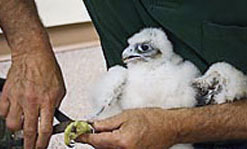 State biologist Thomas French put identification tags on the legs of one of the falcon chicks.