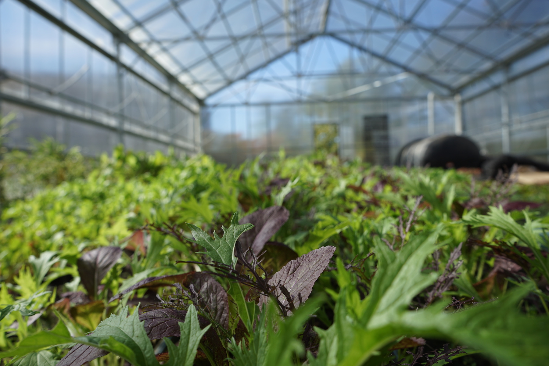 An Inside View of the Greenhouse. Finished in 2017, there is a 1,800-square-foot urban agriculture greenhouse and urban farm on the University's East Campus. In addition to being a full scale agricultural production site, this location also doubles as a testing ground where university researchers and students can work with community members to develop new and efficient ways to grow and develop organic and sustainable produce.