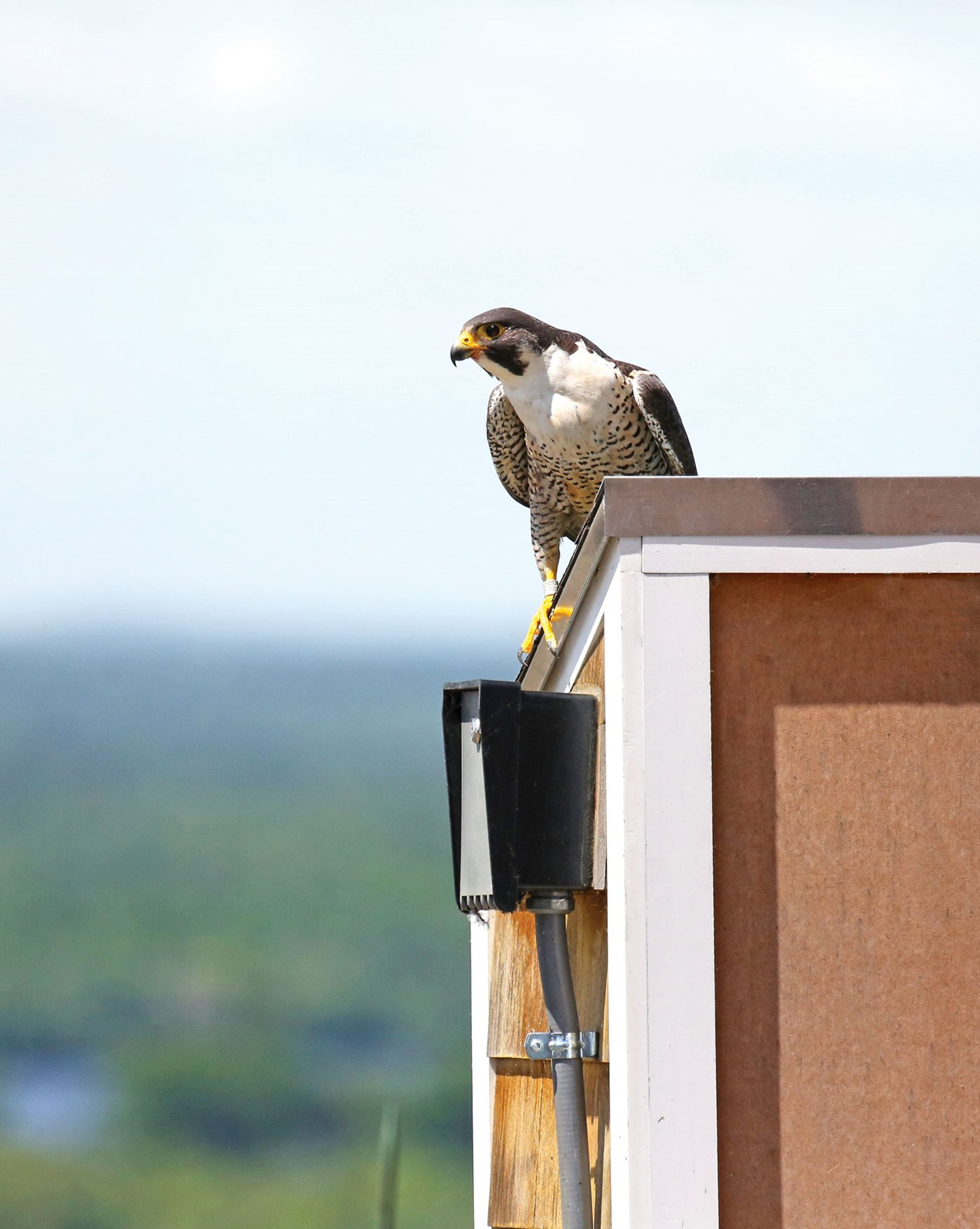 Peregrine falcon atop UMass Lowell's Fox Hall