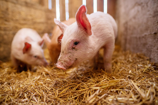 Researchers are converting wet, solid biowaste, such as manure from pig farms, into liquid fuel that can be blended with regular diesel.