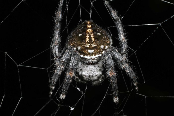 Darwin's bark spider is famous for the extremely tough silk it makes.