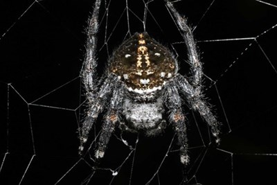 Darwin's bark spider on its web