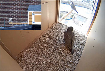 Each spring, a pair of rare peregrine falcons nests on the roof of UMass Lowell's Fox Hall in a nest box constructed for them by the university with the help of the Massachusetts Division of Fisheries and Wildlife.