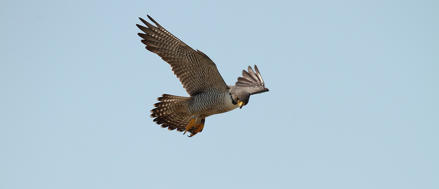 A brown falcon soaring through the clear blue sky.