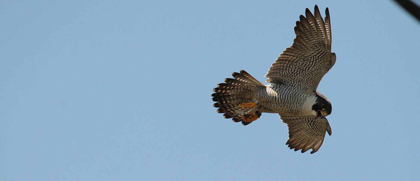 A brown falcon soaring through the clear blue sky with it's beak open.