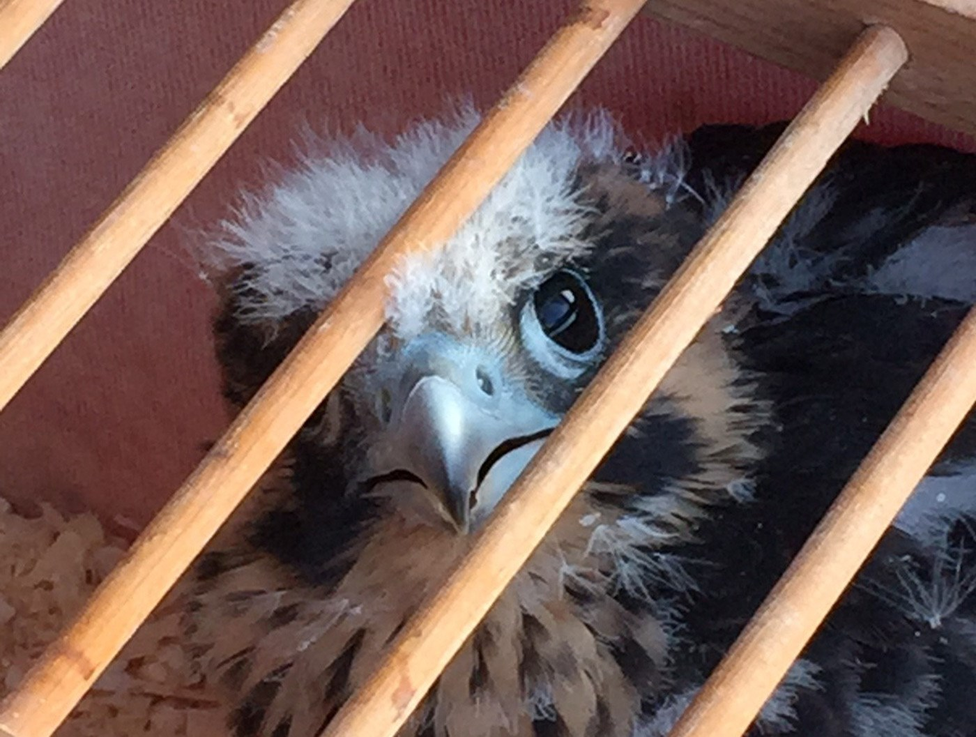 A fallen Falcon chick looks at the camera through a cage.