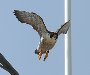 falcon-in-flight-opt.jpg