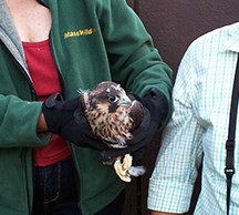 a volunteer holds the chick after she fell