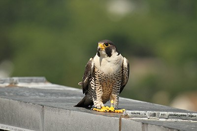 Mack the peregrine falcon
