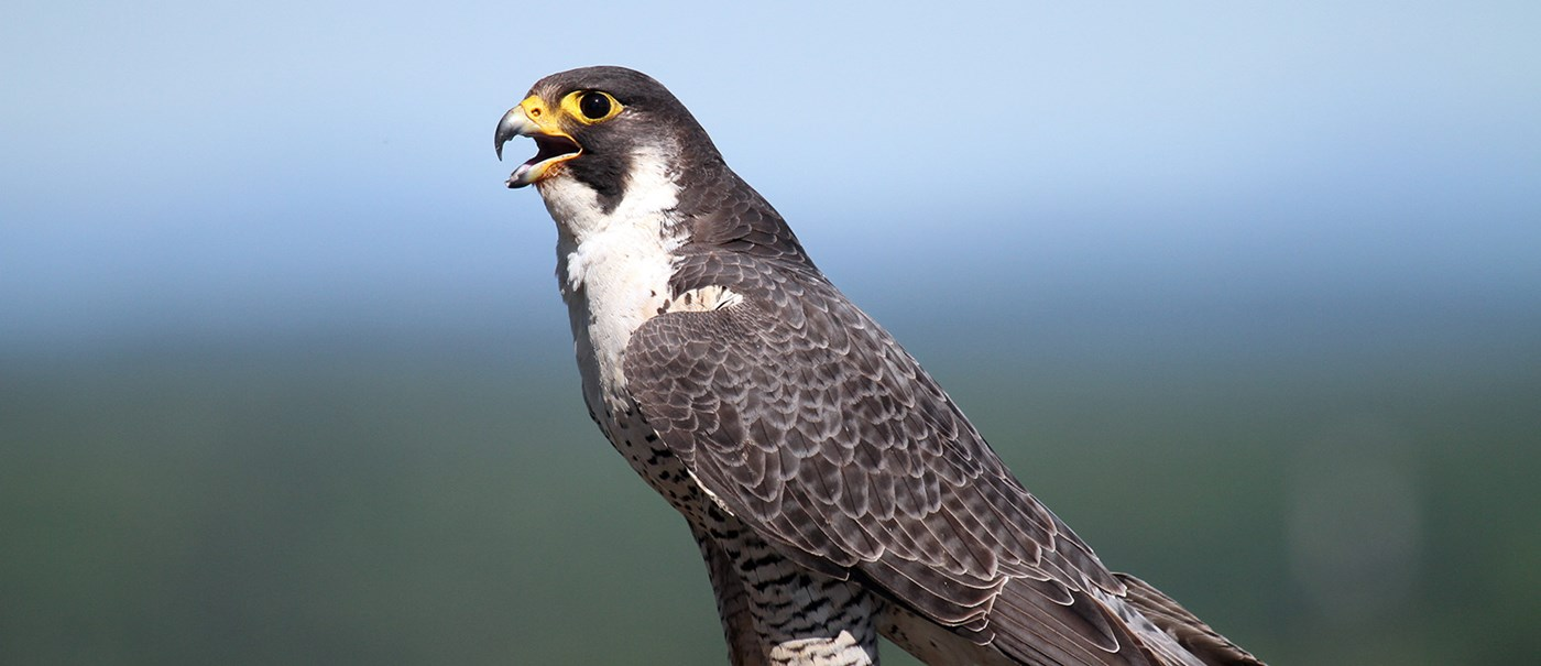 About Peregrine Falcons Umass Lowell