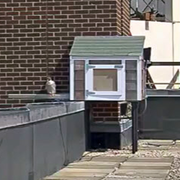 You are watching live video of the university's resident peregrine falcons - our honorary River Hawks - as they mate, hatch and raise their chicks on top of Fox Hall. The female falcon, Merri, was able to find a new mate after her previous one, Mack, died unexpectedly in June of 2014.