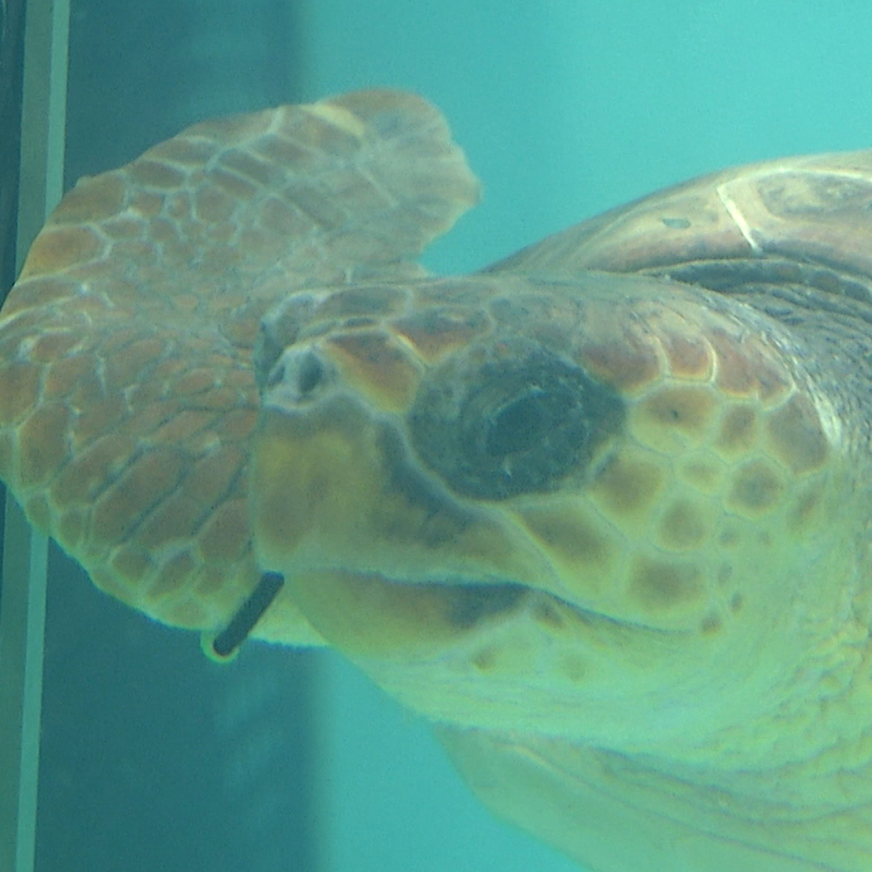 ridley-turtle