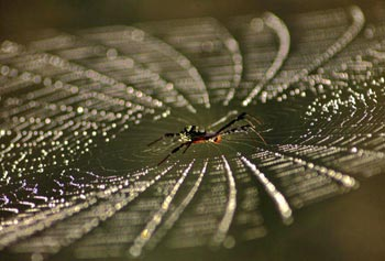 A spider is seen in web, cast with early morning dew drops, on the outskirts of Bhubaneswar, India.